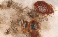what to look for when searching for bed bugs