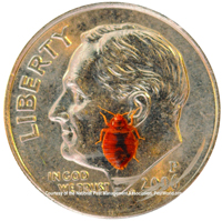 bed bug size camparison