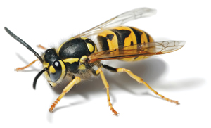 wasp and hornet extermination